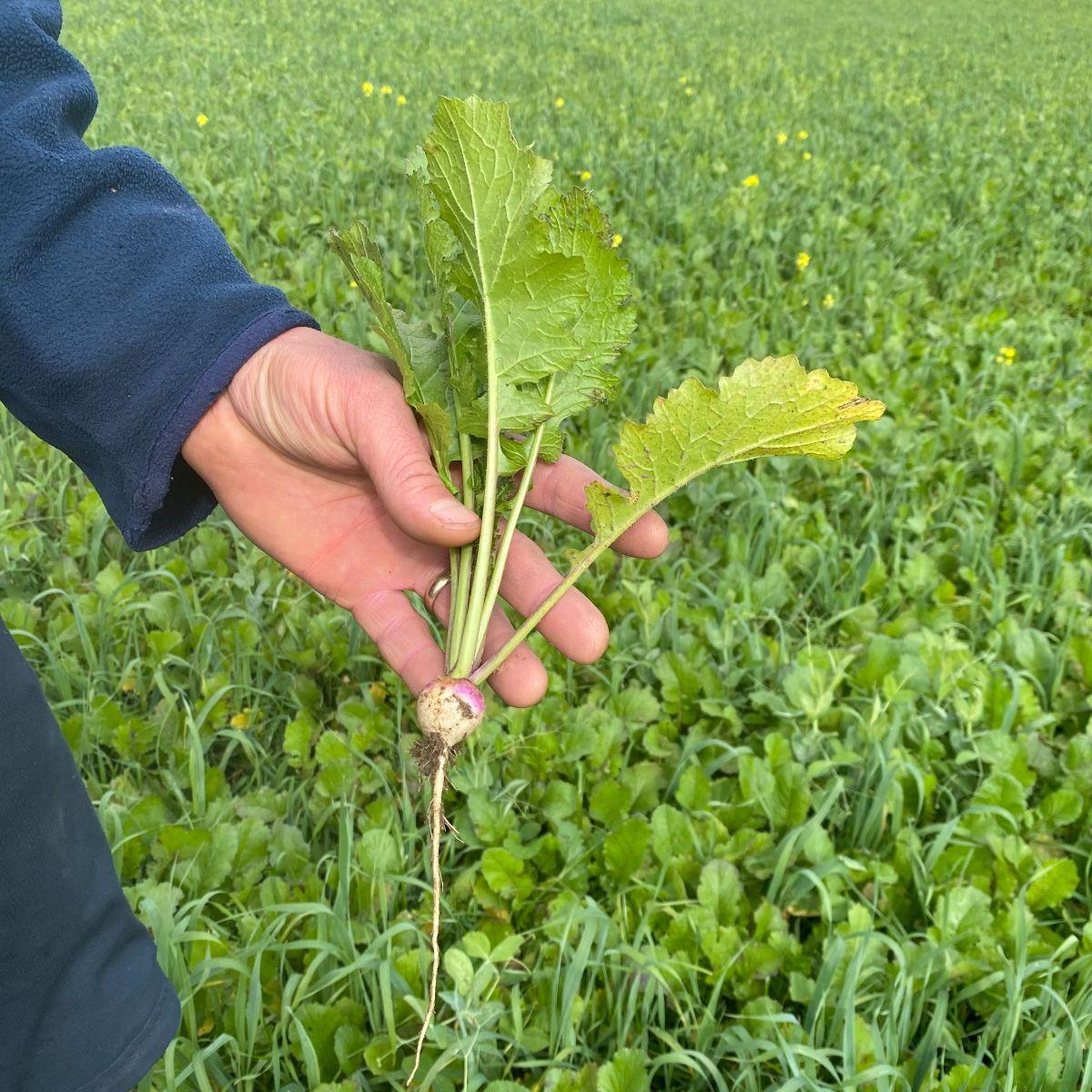 hand holding forage turnip