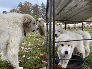 two white puppies in a pen with sheep and livestock guardian dog