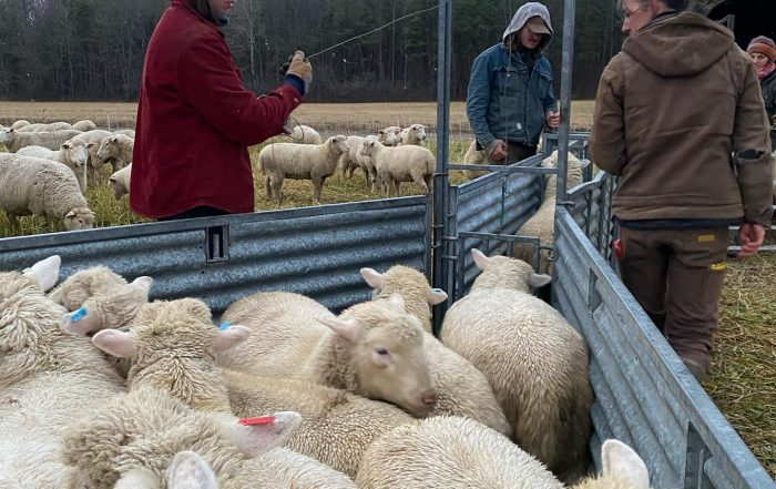 Farmers Sorting Sheep