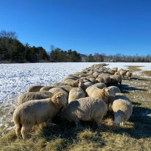 Sheep bale grazing on snow