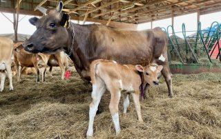 Jersey heifer and calf