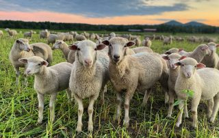 a line of sheep on pasture