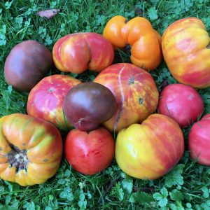 a variety of ripe heirloom tomatoes