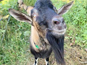 Bode the teenage goat