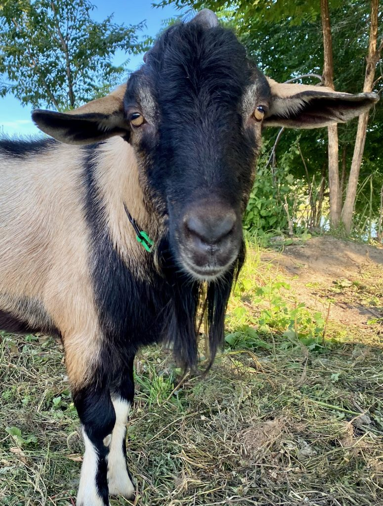 Bode the goat looking directly at the camera