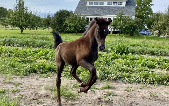 foal frollicking in front of farmhouse